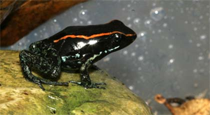 Another Phyllobates vittatus on a rock in the enclosure